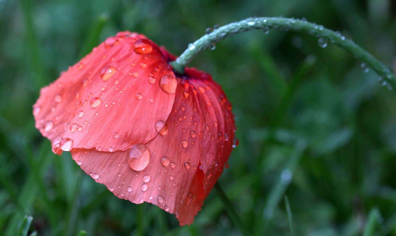 Mohnblüte im Regen